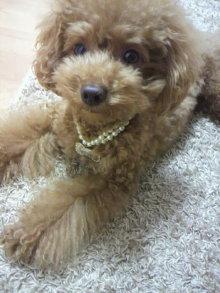 愛犬鈴ちゃん~トイプードル☆ライフスタイル~-2011101019470000.jpg