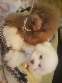 愛犬鈴ちゃん~トイプードル☆ライフスタイル~-2011101217360000.jpg