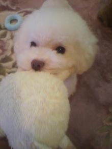 愛犬鈴ちゃん~トイプードル☆ライフスタイル~-2011101218170000.jpg