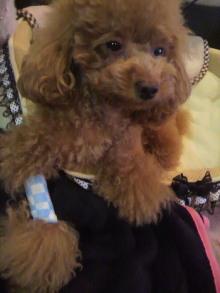 愛犬鈴ちゃん~トイプードル☆ライフスタイル~-2011101418090000.jpg