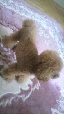 愛犬鈴ちゃん~トイプードル☆ライフスタイル~-2011101513270000.jpg