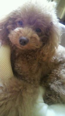 愛犬鈴ちゃん~トイプードル☆ライフスタイル~-2011101513220000.jpg