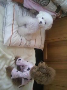 愛犬鈴ちゃん~トイプードル☆ライフスタイル~-2011101710110001.jpg
