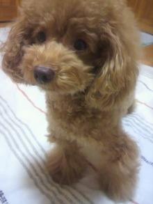 愛犬鈴ちゃん~トイプードル☆ライフスタイル~-2011101721530000.jpg