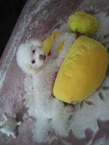 愛犬鈴ちゃん~トイプードル☆ライフスタイル~-2011101810300005.jpg