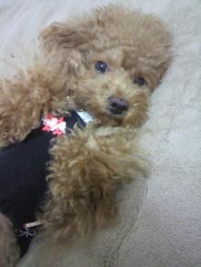 愛犬鈴ちゃん~トイプードル☆ライフスタイル~-2011102521130000.jpg