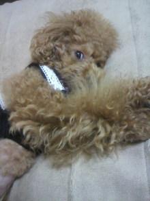 愛犬鈴ちゃん~トイプードル☆ライフスタイル~-2011102521140001.jpg