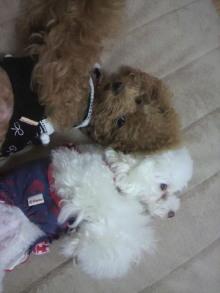 愛犬鈴ちゃん~トイプードル☆ライフスタイル~-2011102521150000.jpg