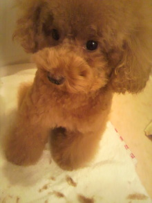 愛犬鈴ちゃん~トイプードル☆ライフスタイル~-2011102619470000.jpg