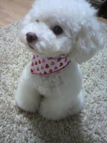 愛犬鈴ちゃん~トイプードル☆ライフスタイル~-2011102619500000.jpg