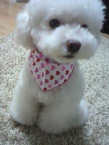 愛犬鈴ちゃん~トイプードル☆ライフスタイル~-2011102619510000.jpg