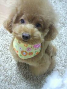 愛犬鈴ちゃん~トイプードル☆ライフスタイル~-2011102619530000.jpg