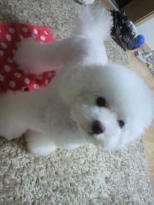 愛犬鈴ちゃん~トイプードル☆ライフスタイル~-2011102820410000.jpg
