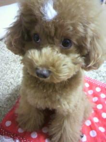 愛犬鈴ちゃん~トイプードル☆ライフスタイル~-2011102820420000.jpg