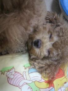 愛犬鈴ちゃん~トイプードル☆ライフスタイル~-2011102903100001.jpg
