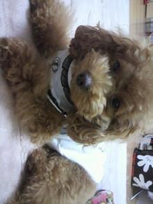 愛犬鈴ちゃん~トイプードル☆ライフスタイル~-2011110322390001.jpg