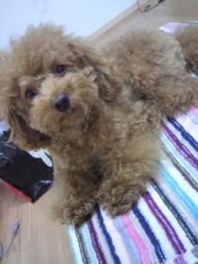 愛犬鈴ちゃん~トイプードル☆ライフスタイル~-2011110410440000.jpg