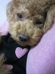 愛犬鈴ちゃん~トイプードル☆ライフスタイル~-2011110623580000.jpg