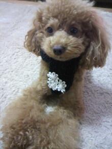 愛犬鈴ちゃん~トイプードル☆ライフスタイル~-2011111116240000.jpg