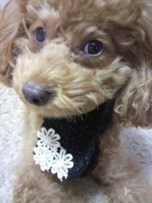 愛犬鈴ちゃん~トイプードル☆ライフスタイル~-2011111116250000.jpg