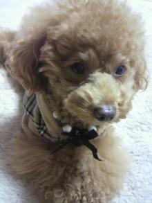 愛犬鈴ちゃん~トイプードル☆ライフスタイル~-2011111418020001.jpg