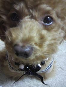 愛犬鈴ちゃん~トイプードル☆ライフスタイル~-2011111418020000.jpg