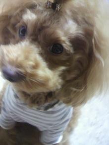 愛犬鈴ちゃん~トイプードル☆ライフスタイル~-2011111603140000.jpg