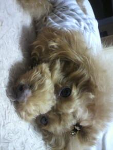 愛犬鈴ちゃん~トイプードル☆ライフスタイル~-2011111603120000.jpg