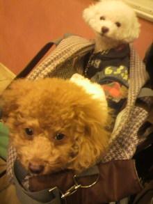 愛犬鈴ちゃん~トイプードル☆ライフスタイル~-2011111714100001.jpg