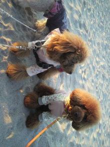愛犬鈴ちゃん~トイプードル☆ライフスタイル~-2011111716020000.jpg