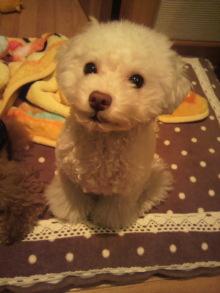 愛犬鈴ちゃん~トイプードル☆ライフスタイル~-2011111815590000.jpg