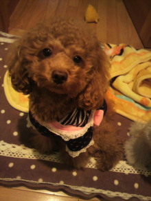 愛犬鈴ちゃん~トイプードル☆ライフスタイル~-2011111815580000.jpg