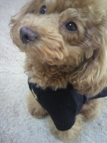 愛犬鈴ちゃん~トイプードル☆ライフスタイル~-2011112412430000.jpg