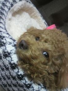 愛犬鈴ちゃん~トイプードル☆ライフスタイル~-2011113020470002.jpg