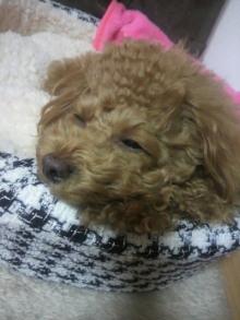 愛犬鈴ちゃん~トイプードル☆ライフスタイル~-2011113020470001.jpg