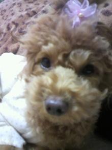 愛犬鈴ちゃん~トイプードル☆ライフスタイル~-2011120311420001.jpg