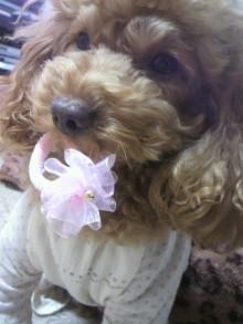 愛犬鈴ちゃん~トイプードル☆ライフスタイル~-2011120311440001.jpg