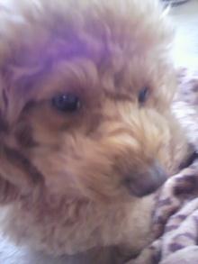 愛犬鈴ちゃん~トイプードル☆ライフスタイル~-2011120410290001.jpg