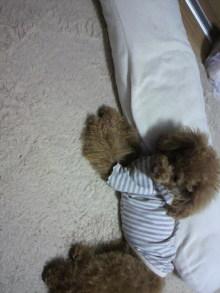 愛犬鈴ちゃん~トイプードル☆ライフスタイル~-2011120917540001.jpg