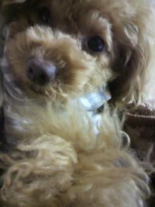 愛犬鈴ちゃん~トイプードル☆ライフスタイル~-2011120917550002.jpg