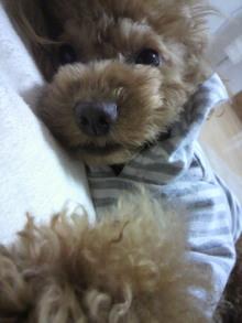 愛犬鈴ちゃん~トイプードル☆ライフスタイル~-2011120917540000.jpg