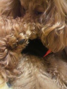 愛犬鈴ちゃん~トイプードル☆ライフスタイル~-2011121323390001.jpg