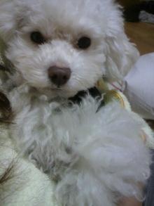 愛犬鈴ちゃん~トイプードル☆ライフスタイル~-2011121323350000.jpg