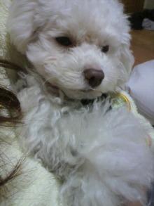愛犬鈴ちゃん~トイプードル☆ライフスタイル~-2011121323350001.jpg