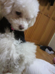 愛犬鈴ちゃん~トイプードル☆ライフスタイル~-2011121323360000.jpg