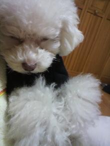 愛犬鈴ちゃん~トイプードル☆ライフスタイル~-2011121323360001.jpg