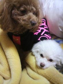 愛犬鈴ちゃん~トイプードル☆ライフスタイル~-2011121323340000.jpg
