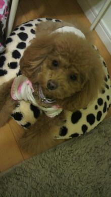 愛犬鈴ちゃん~トイプードル☆ライフスタイル~-2011121517480000.jpg