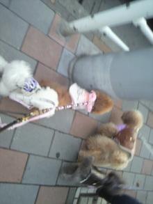愛犬鈴ちゃん~トイプードル☆ライフスタイル~-2011121516160001.jpg