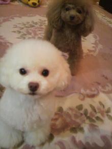 愛犬鈴ちゃん~トイプードル☆ライフスタイル~-2011121423070001.jpg